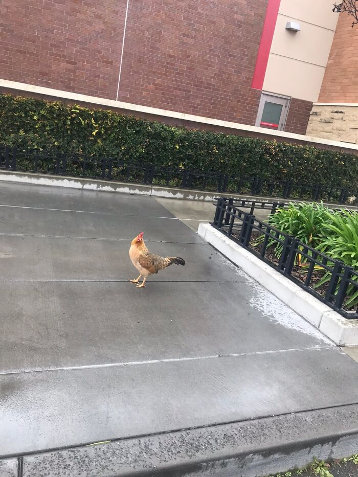 Why Did The Chicken Cross The Road . . . To Get To Target