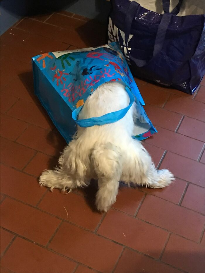 Freddy A West Highland White Terrier Found Food Smells In A Grocery Bag And Decided To Dive In