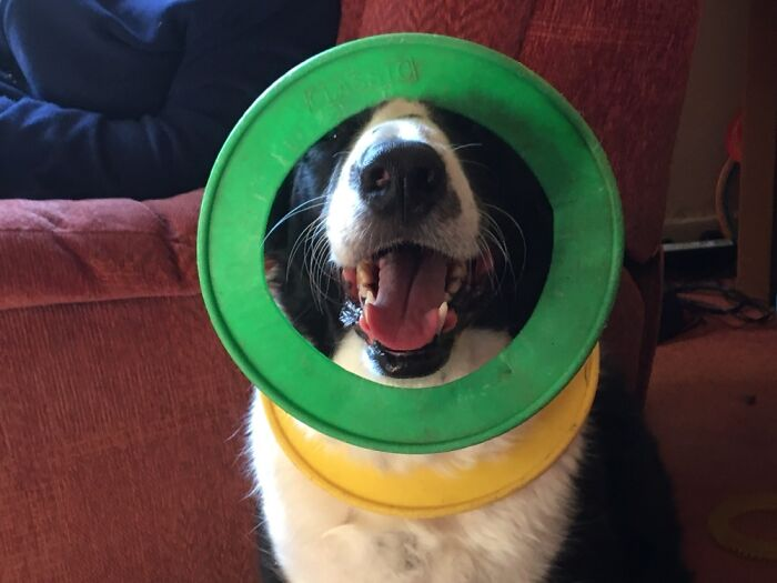 My Dog Shilo Puts His Throw Rings Around His Neck And Head To Get Attention. It Always Works!!!