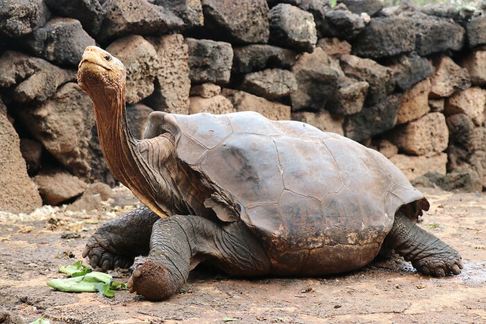 Til Of Diego, A Tortoise Whose High Libido Helped Save His Species. He & E5 (Another Male) Brought The Population From 15 To 2,000, And Now The Species Is Considered Self-Sufficient. After 80 Years In Captivity, Diego Is Now Retired In The Galápagos, Where He'll Spend The Rest Of His Life Having Sex