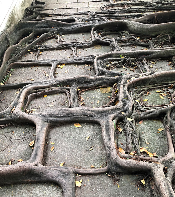 The Roots Grow According To The Pavement Pattern