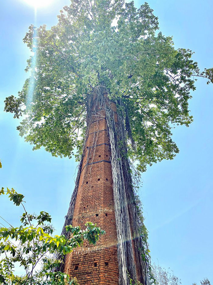 Tree That Grew From The Inside Of An Abandoned Chimney