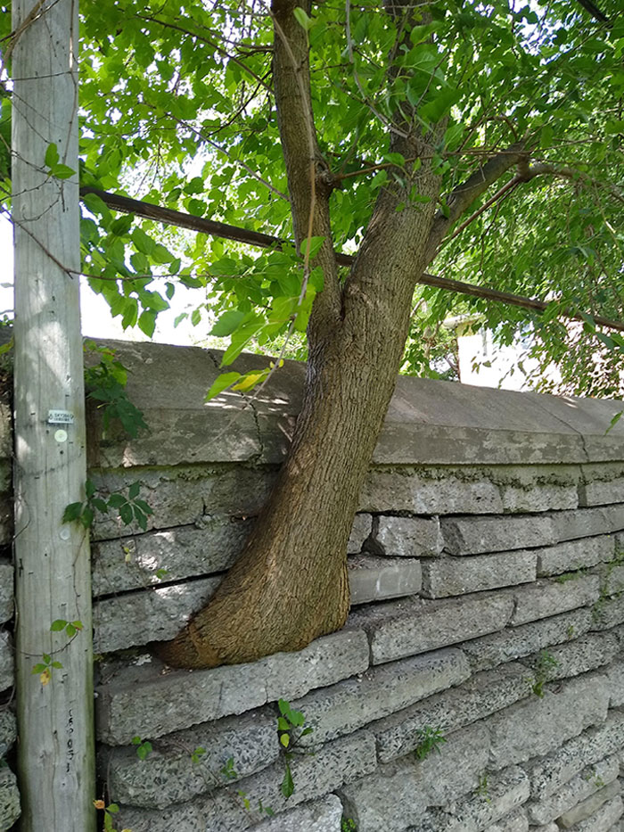 Found A Tree Growing Through A Stone Wall