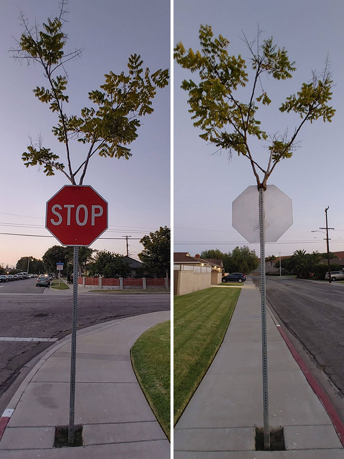 This Tree Grew Inside The Stop Sign