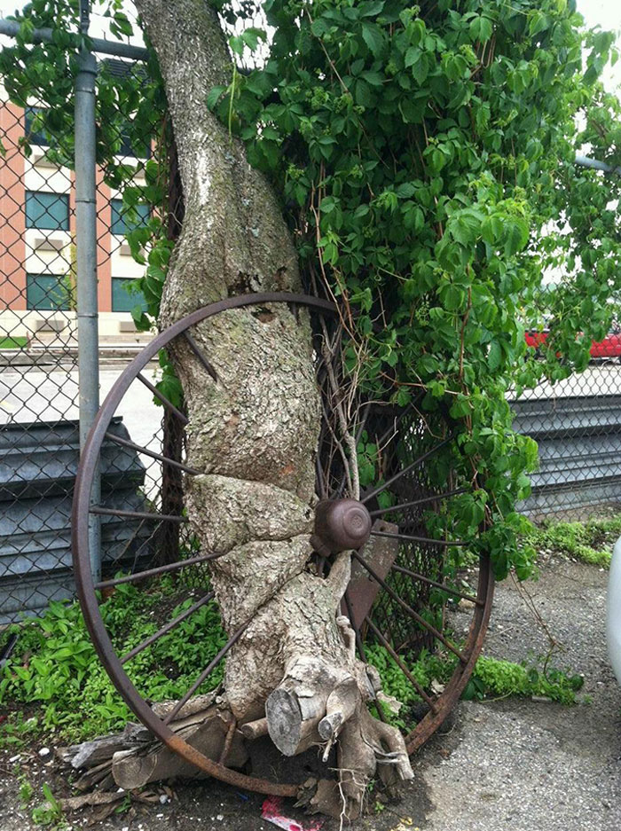Tree That Grew Through And Around A Wagon Wheel