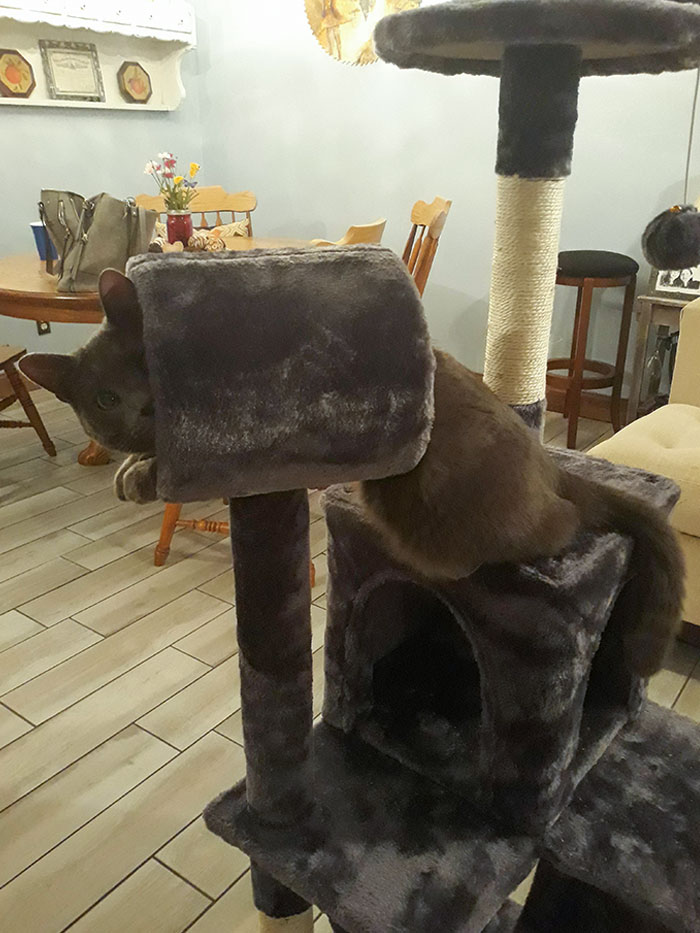 I Bought A Cat Tower Online That Turned Out To Be Much Smaller Than Expected. Trevor Is Still Trying To Be Appreciative Tho