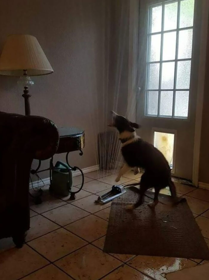 Friend Of A Friend's Pooch Dragged The Sprinkler In Through The Doggy Door