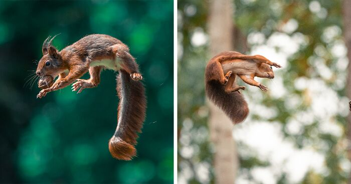 I've Been Photographing Red Squirrels For 5 Years, Here Are My 19 Photos To Show How Acrobatic They Really Are