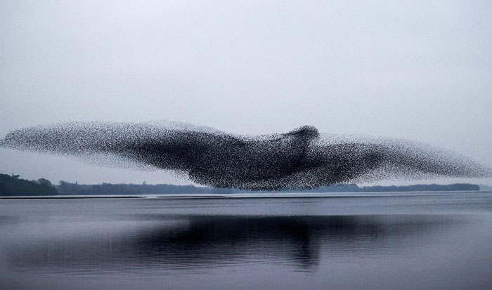 After Following Starlings For 3 Months, This Irish Photographer Captures An Incredible Murmuration In The Shape Of A Huge Bird