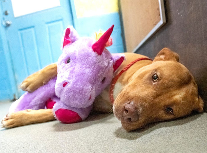 A Stray Dog Who Kept Trying To Steal A Purple Unicorn From A Store Gets A Toy And A Forever Home