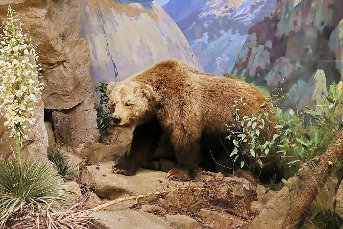 Til Despite Being Depicted On California's Flag, The California Grizzly Bear Has Been Extinct Since 1924.