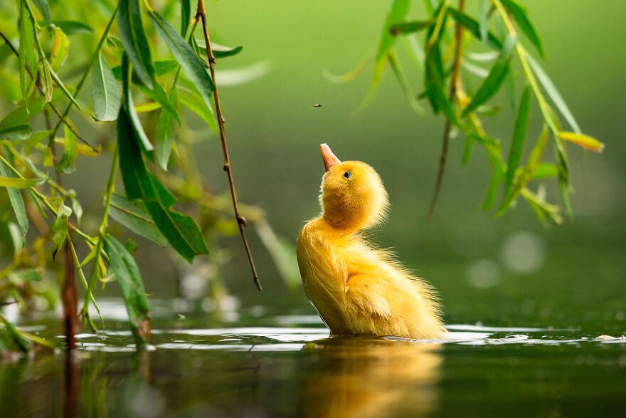 Mallard Duck By Zdeněk Jak
