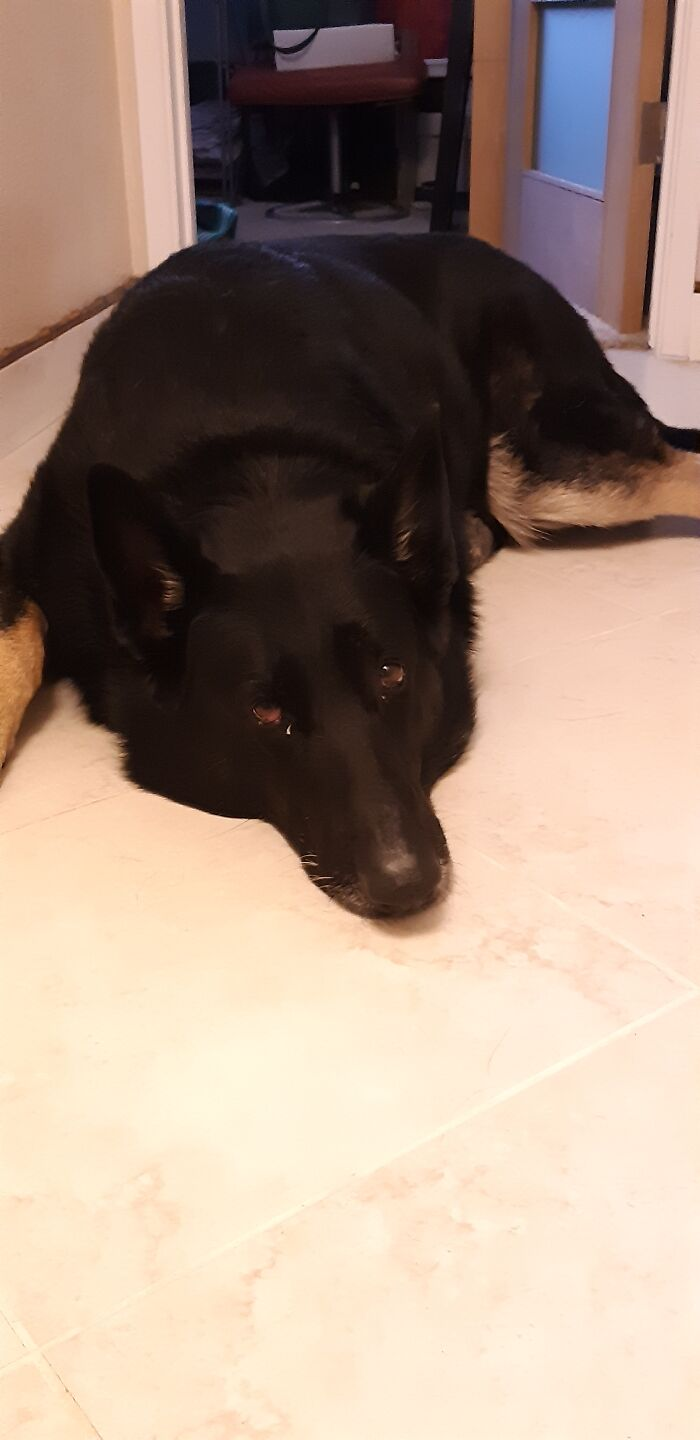Nika 💕💕 She Is A Black German Shepherd, Very Loving With Kids But... Not With Squirrels 😬