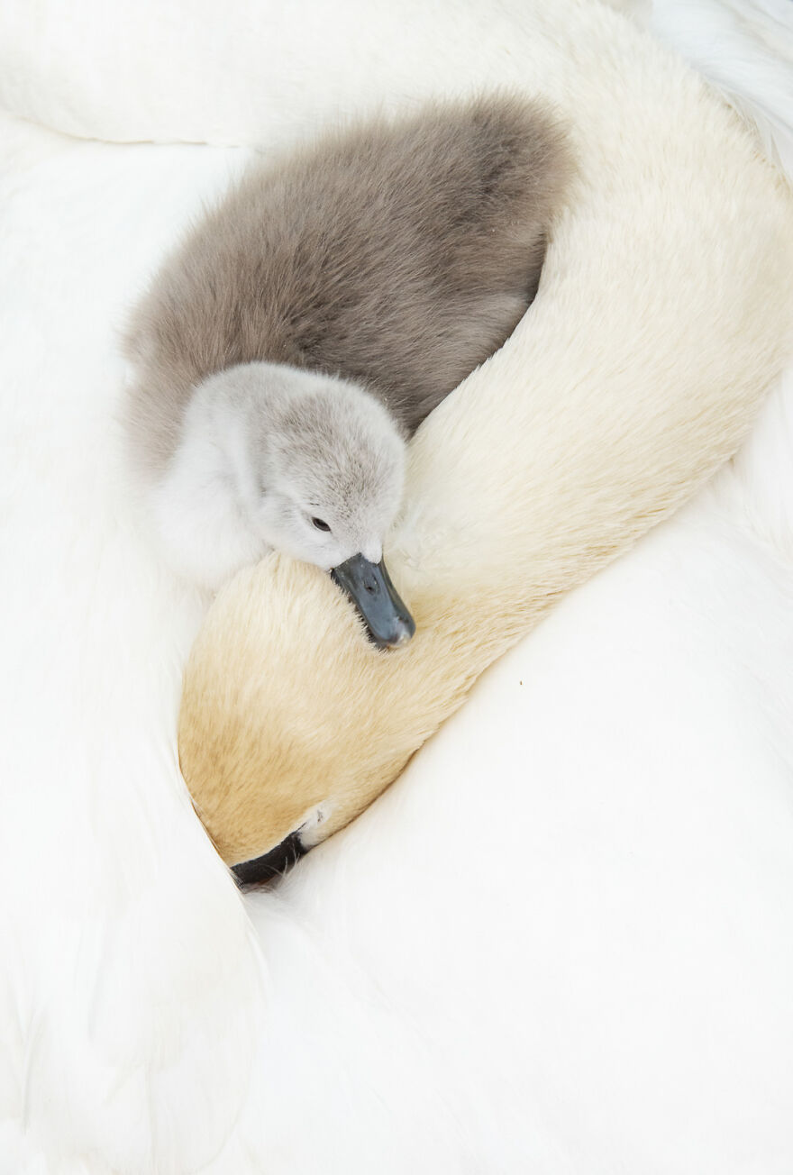 Mute Swan By Andy Parkinson