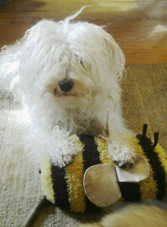 This Is Herbie Gherkin And His Bee. His Bee... And The Other Dogs Better Stay Away.