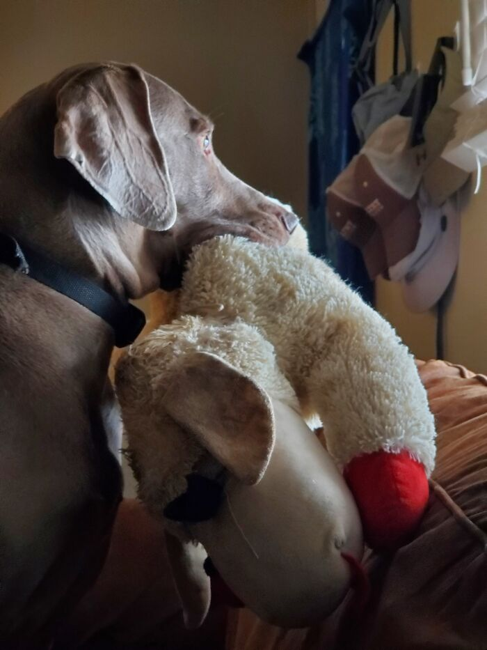 River The Weimaraner. 6 Years Old.