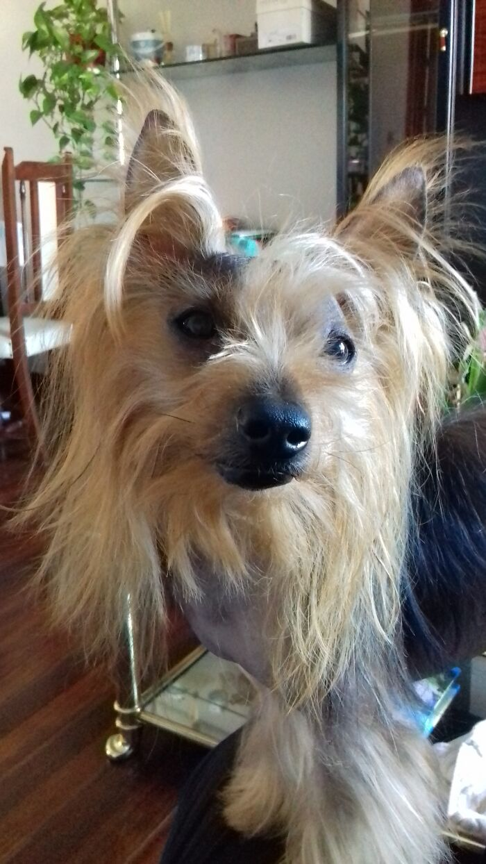 This Is Chispa. He Is A Rescue Yorkie. He Loves Every Living Creature (Cats, Dogs, Pigeons...) But He Doesn't Trust People Until He Makes Sure They Deserve It.