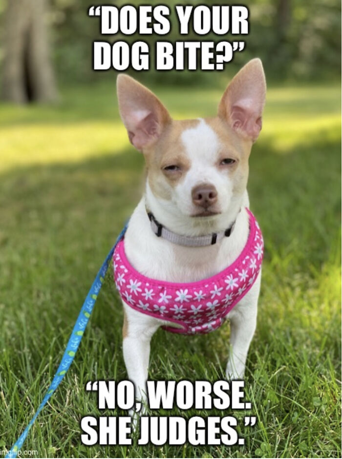 Condescending Chihuahua