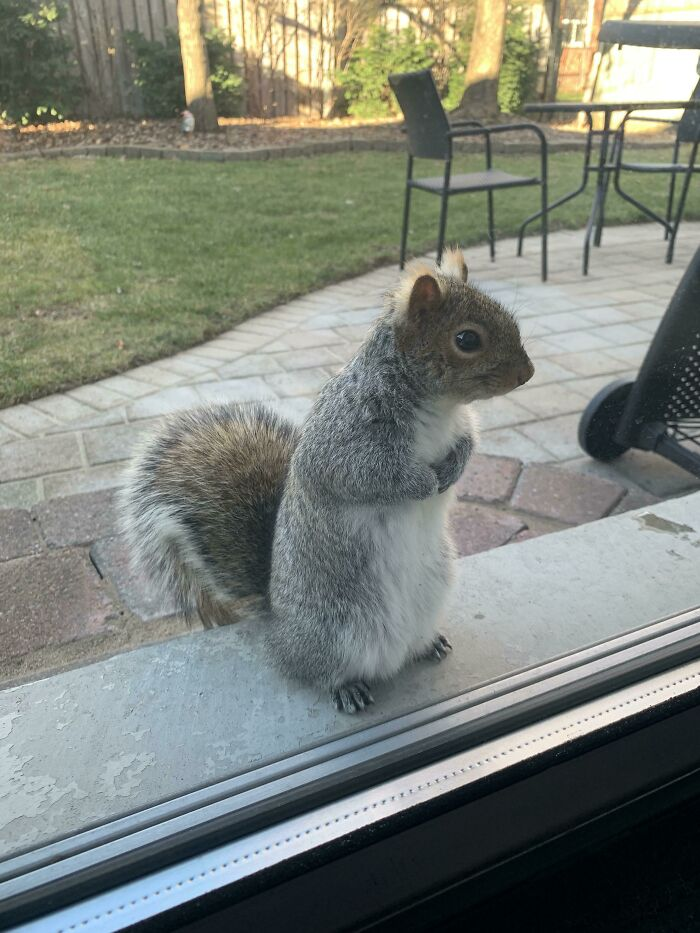 We Fed Our Backyard Squirrel ONCE... Meet Frankie At Our Backyard Door Waiting For More Nuts