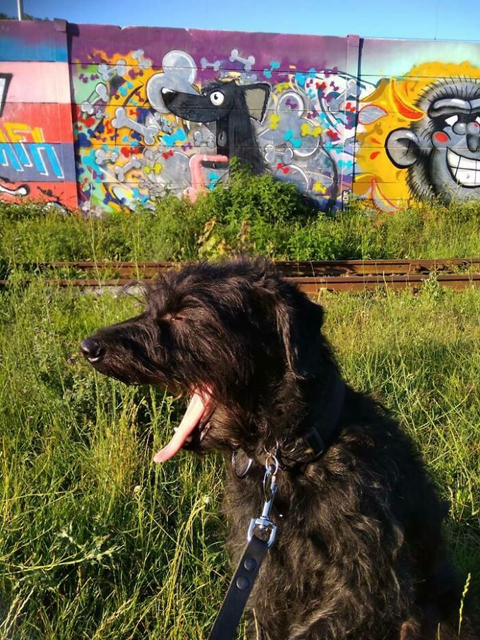 My Dog Yawned At The Exact Moment I Took A Photo Of Him In Front Of The Graffiti That Looks Like Him.