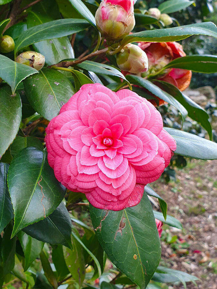 The Petals Of This Camellia Flower