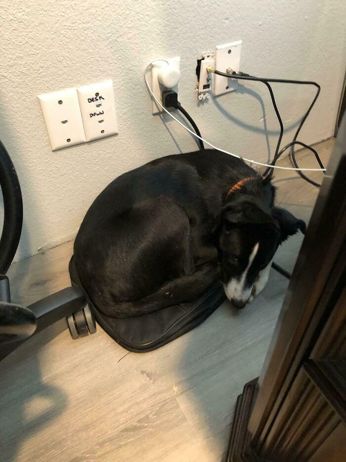 ¿150 dólares de cama anti ansiedad para perros? No, yo duermo en la bolsa del portátil