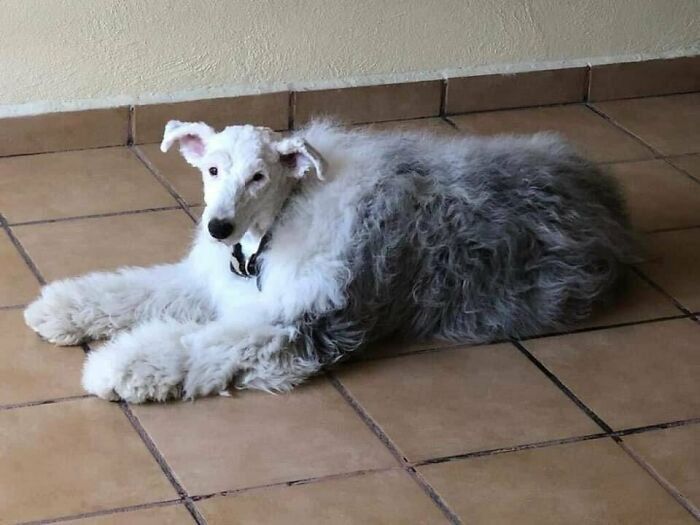 This Sheepdog With A Shaved Head