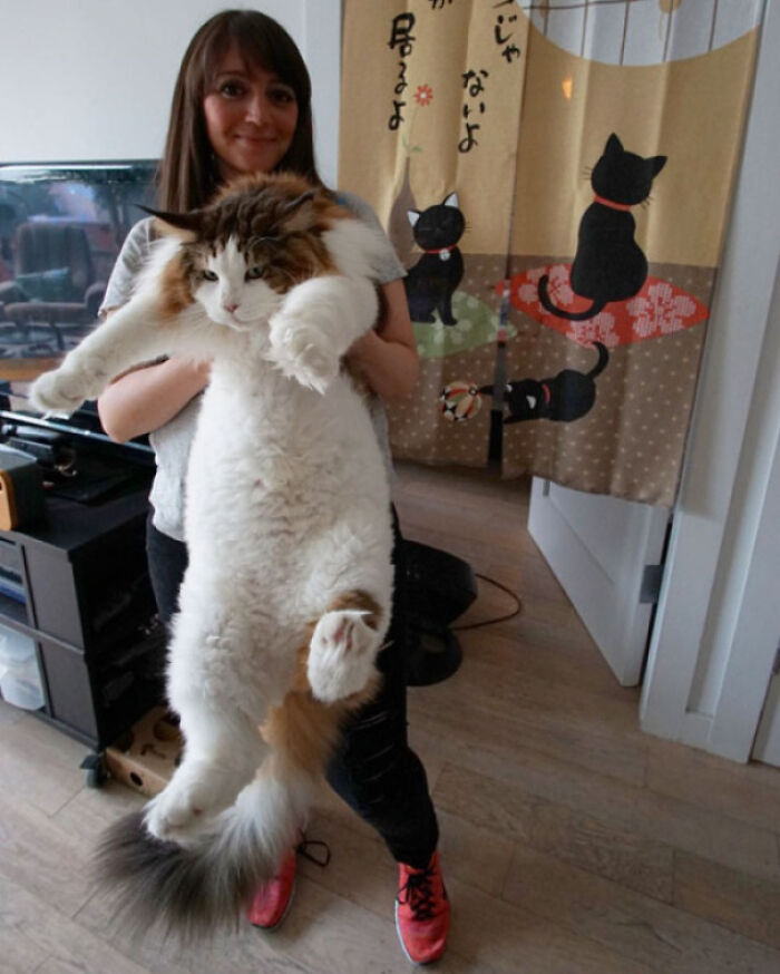 The Largest Cat In NYC, And Possibly The World, 28 Lb