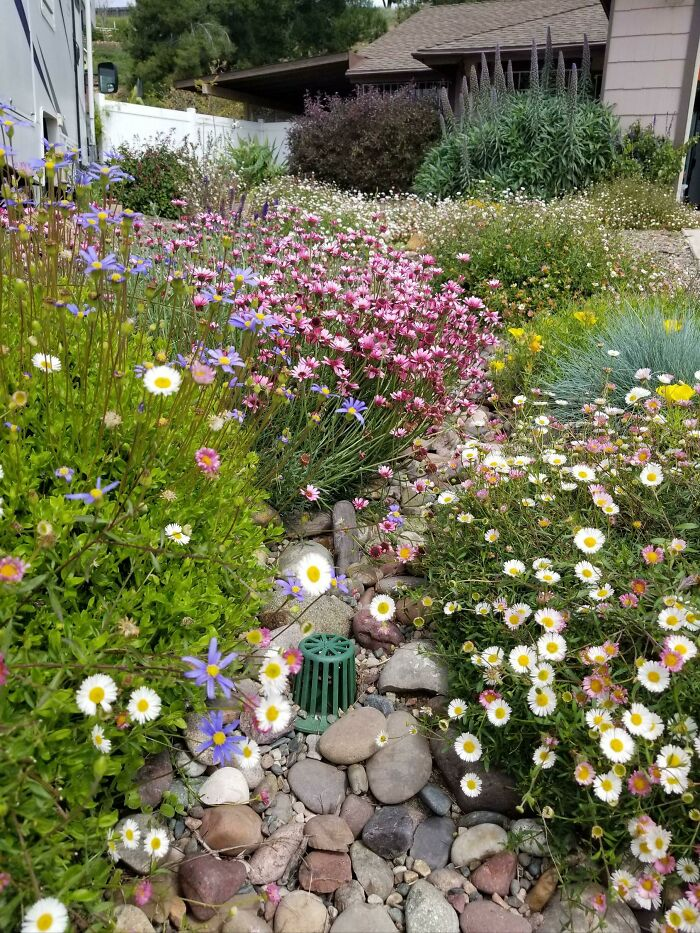 A Year After We Got Rid Of The Drought Tolerant Weeds And Planted Drought Tolerant Flowers, Yard Is In Full Effect