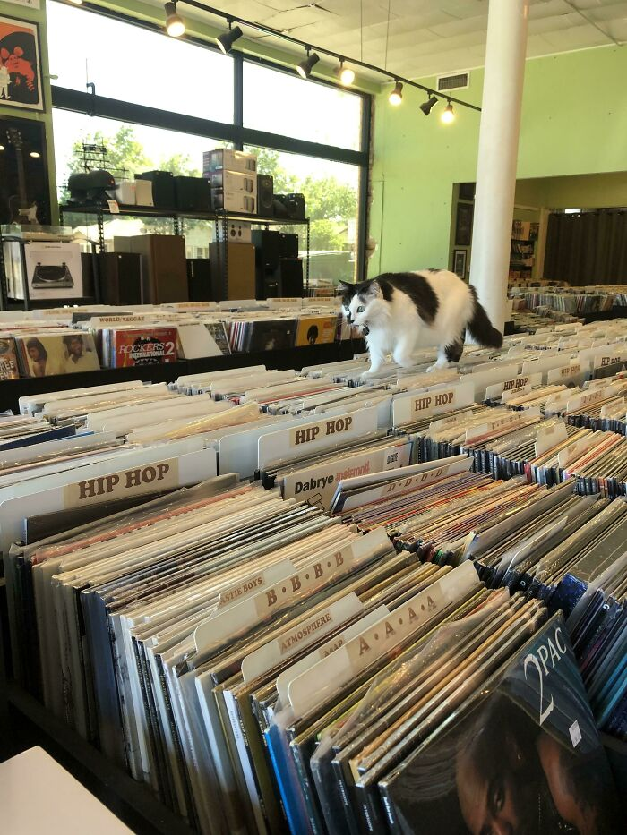"""This Is """"Lil' Kim"""". She Works At My Local Record Shop And Greets Every Customer. Last Time I Was In, I Kneeled Down To Pet Her And She Climbed Into My Arms And Made Me Carry Her During Most Of My Shopping Trip"""