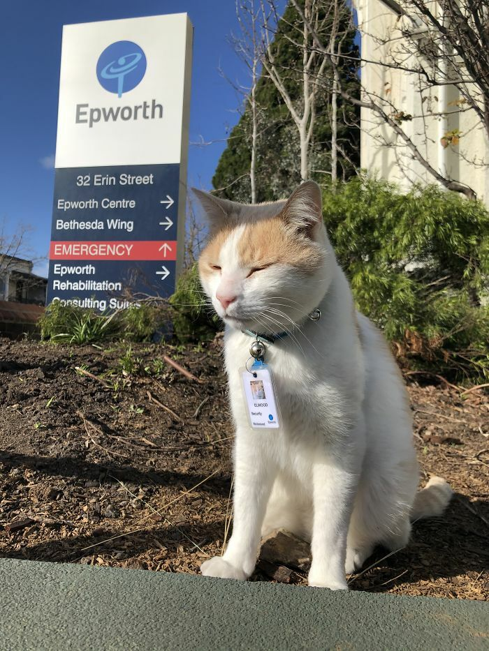 Cat Hangs Around A Hospital For A Year, Ends Up Getting Hired As A Security Cat