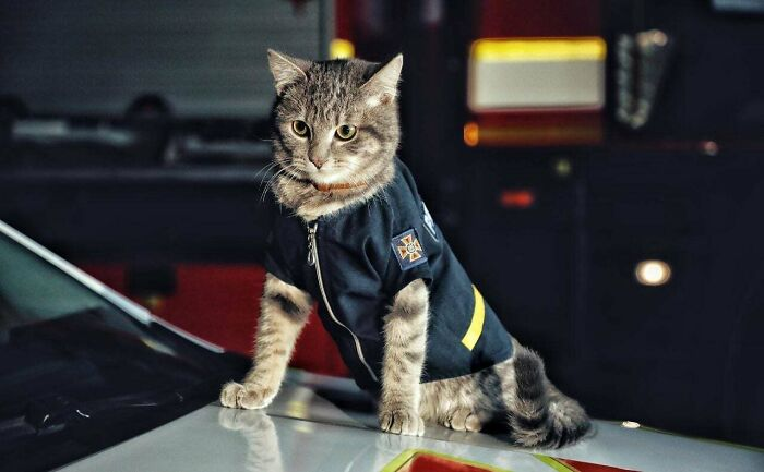 Major Chivas - Cat Firefighter From Kyiv, Ukraine. He Has A Rank, A Uniform, And He Sleeps In A Paper Tray Inside The Chief's Office
