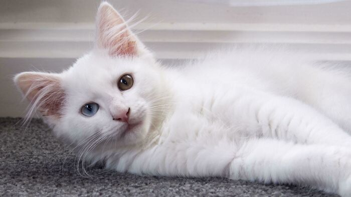 ¡Adopté un gatito sordo, mi esposa lo eligió específicamente por esos increíbles ojos!
