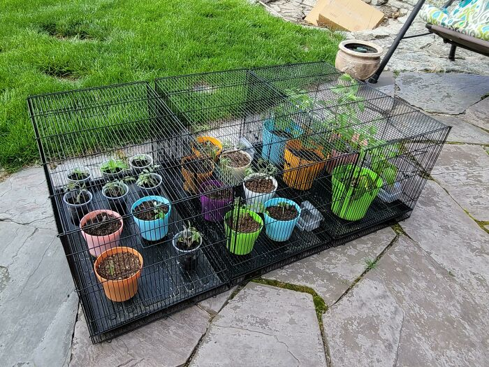 Re-Purposed Bird Cages To Keep The Critters Out Of My Starts. Plus, I Can Cover Them At Night If It Gets Too Chilly