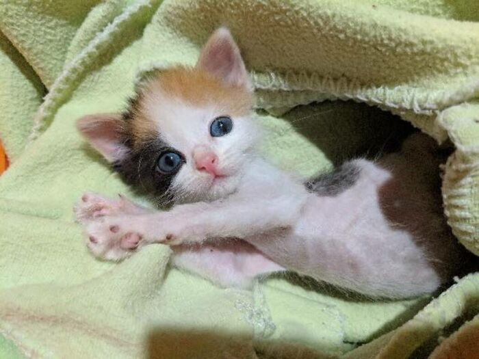Kitten With Small Body But Strong Will To Live Undergoes A Life-Changing Transformation That Turns It Into A Gorgeous Calico Cat