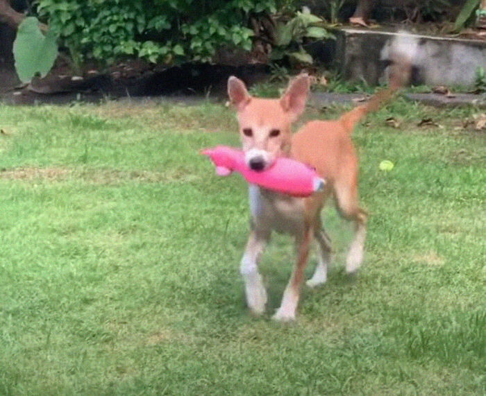 This Dog Ran Away From An Illegal Meat Farm In Bali, We Helped Her Heal And Found Her A Home