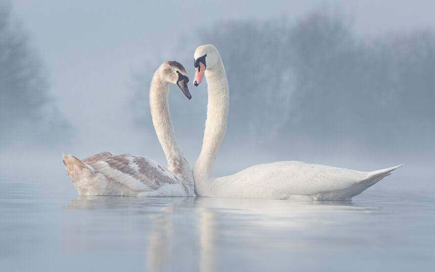 Mute Swan By Diana Schmies