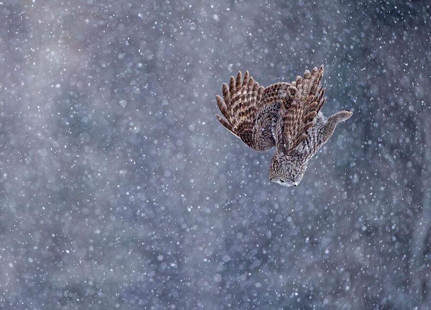 Great Grey Owl By Scott Suriano