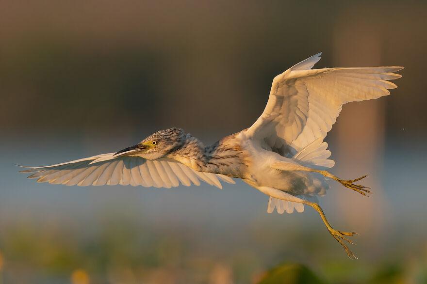 Squacco Heron By Aguti Antonio