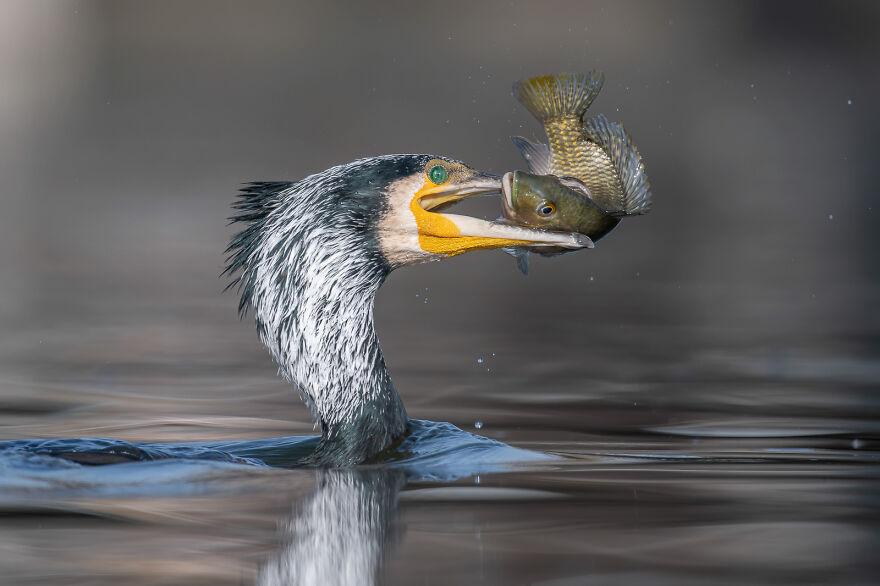 Great Cormorant By Tzahi Finkelstein