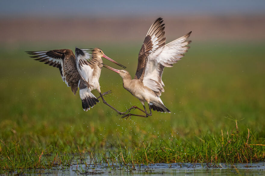 Black-Tailed Godwits By Anupam Chakraborty