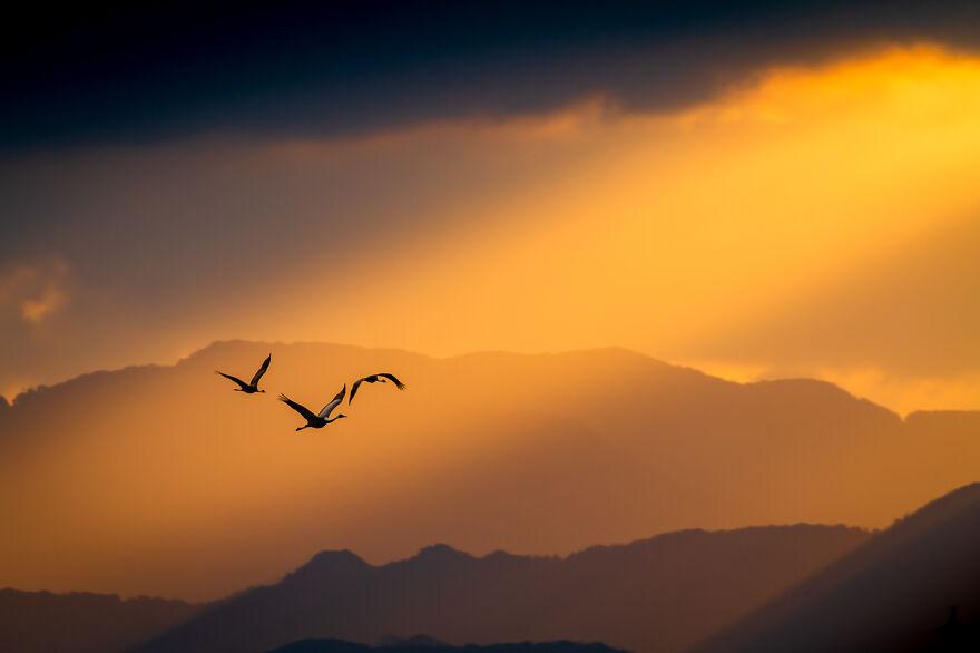 Hooded Crane By Taku Ono
