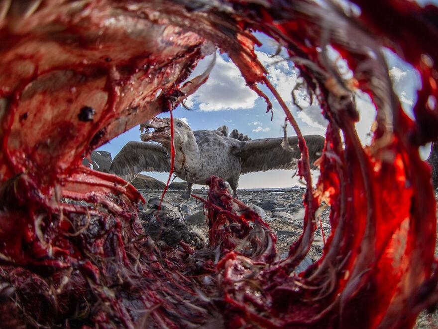 Southern Giant Petrel By Eirik Grønningsæter