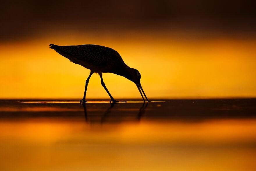 Bar-Tailed Godwit, By Mario Suarez Porras