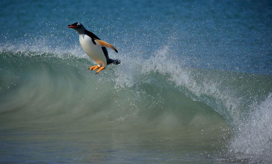Gentoo Penguin By Tom Schandy