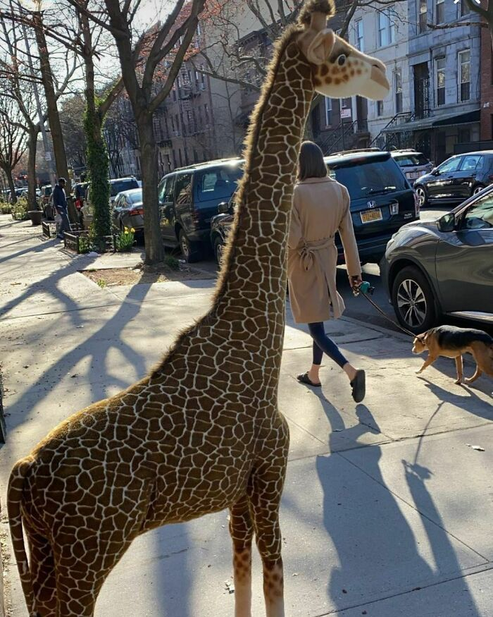 This Is The Realest Looking Stoop Giraffe Ever! Not Sure About Its Competition Though. Jefferson Bt Malcolm X And Stuyvesant
