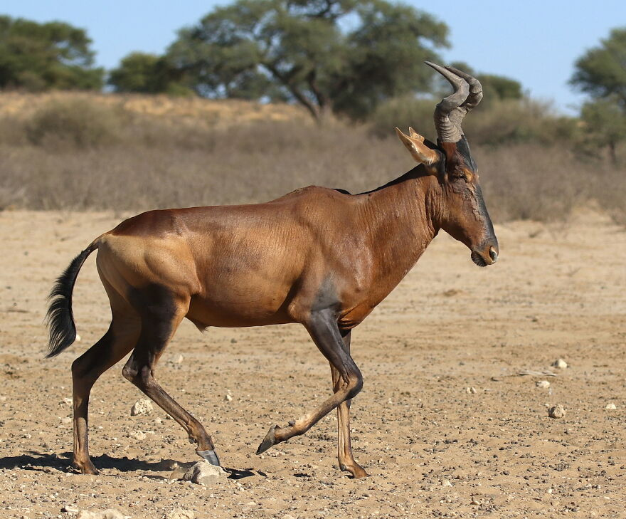 The Red Hartebeest