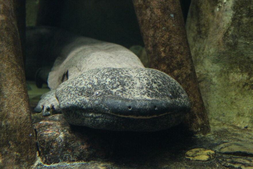 The Giant Salamander