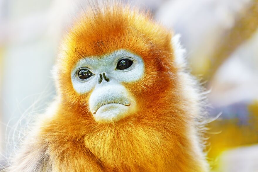 The Golden Snub-Nosed Monkey (I Think That's The Name)
