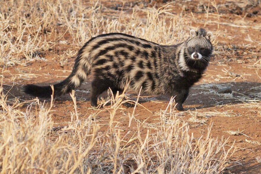 The African Civet